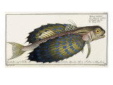 Flying Gurnard, 1797 Giclee Print by Marcus Elieser Bloch