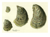 Oysters Ages 1-4 Giclee Print