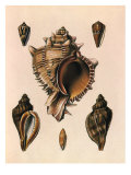 Cabbage Murex Shell, 1839 Giclee Print by G.b. Sowerby