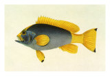 Yellow Tail Rockcod, 1834 Giclee Print by John Whitchurch Bennett