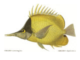 Butterfly Fish, 1849 Giclee Print