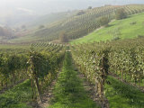 Vineyards Near Serralunga D'Alba, Piedmont, Italy, Europe Photographic Print by Robert Cundy