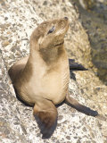 Baby Harbor Seal, Child's Beach, La Jolla, Near San Diego, California, USA Reproduction photographique par Ethel Davies