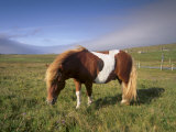 Shetland Pony, Unst, Shetland Islands, Scotland, United Kingdom, Europe Photographic Print by Patrick Dieudonne