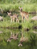 Two Whitetail Deer Fawns with Reflection, in Captivity, Sandstone, Minnesota, USA Photographic Print by James Hager