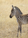 Baby Grant's Zebra, Masai Mara National Reserve, Kenya, East Africa Photographic Print by James Hager