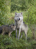 Gray Wolf Adult and Pups, in Captivity, Sandstone, Minnesota, USA Photographic Print by James Hager
