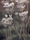 Frost Covering Stalks of a Plant in Winter Photographic Print by Michelle Garrett