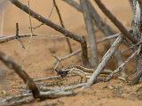Western Three-Striped Skink with Beetle, Kgalagadi Transfrontier Park, South Africa Photographic Print by James Hager
