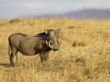 Warthog, Masai Mara National Reserve, Kenya, East Africa, Africa Photographic Print by James Hager