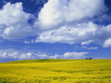 Rape Field and Blue Sky with White Clouds Photographic Print by Nigel Francis