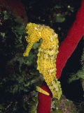 Sea Horse, Belize, Central America Photographic Print by James Gritz