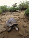 Tortoise, Galapagos Islands, Ecuador, South America Photographic Print by James Gritz