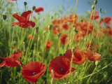 Common Poppies Near Peterborough, Cambridgeshire, England, United Kingdom, Europe Photographic Print by Lee Frost