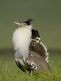 Male Kori Bustard Displaying, Ngorongoro Crater, Ngorongoro Conservation Area, Tanzania, Africa Photographic Print by James Hager