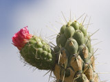 Prickly Pear Cactus Flowering on Uplands in the Colta Lake District Near Riobamba, Ecuador Photographic Print by Robert Francis