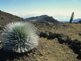 Silverswords Growing in the Vast Crater of Haleakala, Maui, Hawaii, Hawaiian Islands, USA Photographic Print by Robert Francis