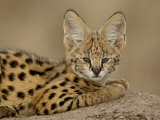 Serval Cub on Termite Mound, Masai Mara National Reserve, Kenya, East Africa, Africa Photographic Print by James Hager