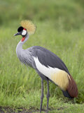 Grey Crowned Crane, Serengeti National Park, Tanzania, East Africa Photographic Print by James Hager