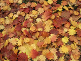 Carpet of Autumn Leaves Photographic Print by Nigel Francis