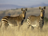 Cape Mountain Zebra, Mountain Zebra National Park, South Africa, Africa Fotografisk tryk af James Hager