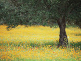 Olive Tree in Field of Wild Flowers, Near Fez, Morocco, North Africa, Africa Fotografisk tryk af Lee Frost