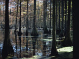 Reflections in the Cypress Swamp in Cypress Gardens, North Charleston, South Carolina, USA Photographic Print by James Green