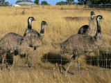 Emus at an Emu Farm Near Rutherglen in the Northeast of the State, Victoria, Australia, Pacific Photographie par Robert Francis