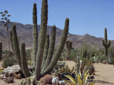 Cactus Plants, Arizona, United States of America, North America Photographic Print by Ursula Gahwiler