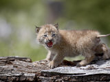 Baby Siberian Lynx or Eurasian Lynx in Captivity, Animals of Montana, Bozeman, Montana, USA Photographic Print by James Hager