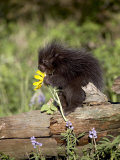 Baby Porcupine in Captivity, Animals of Montana, Bozeman, Montana, USA Photographic Print by James Hager