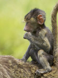 Olive Baboon Infant Riding on its Mother's Back, Serengeti National Park, Tanzania, East Africa Photographic Print by James Hager