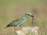 European Roller with a Worm, Serengeti National Park, Tanzania, East Africa Photographic Print by James Hager