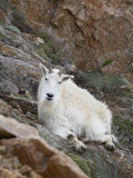 Mountain Goat, Mount Evans, Colorado, United States of America, North America Photographic Print by James Hager