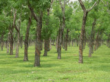 Trees in a Rubber Plantation at Vung Tau, Vietnam, Indochina, Southeast Asia Photographic Print by Tim Hall