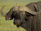 Cape Buffalo with a Red-Billed Oxpecker, Ngorongoro Conservation Area, Tanzania,East Africa,Africa Photographic Print by James Hager