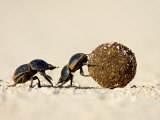 Two Dung Beetles Rolling a Dung Ball, Addo Elephant National Park, South Africa, Africa Photographic Print by James Hager