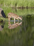 Captive Whitetail Deer Fawn and Reflection, Sandstone, Minnesota, USA Photographic Print by James Hager