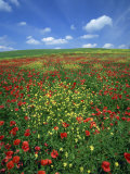 Field of Poppies and Wild Flowers, Pienza in Background, Tuscany, Italy, Europe Photographic Print by Lee Frost