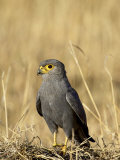 Grey Kestrel, Masai Mara National Reserve, Kenya, East Africa, Africa Photographic Print by James Hager