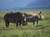 Black Rhino Family, Lake Nakuru Park, Kenya, East Africa, Africa Photographic Print by Dominic Harcourt-webster