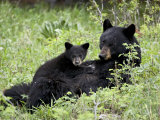 Black Bear Sow Nursing a Spring Cub, Yellowstone National Park, Wyoming, USA Photographic Print by James Hager
