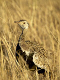 Male Black-Bellied Bustard, Masai Mara National Reserve, Kenya, East Africa Photographic Print by James Hager