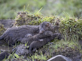 Mink Mother and Babies, in Captivity, Animals of Montana, Bozeman, Montana, USA Photographic Print by James Hager