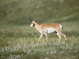 Pronghorn, Custer State Park, South Dakota, USA Photographic Print by James Hager