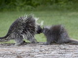Porcupine Mother and Baby, in Captivity, Sandstone, Minnesota, USA Photographic Print by James Hager