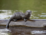 Captive Baby River Otter, Sandstone, Minnesota, USA Photographic Print by James Hager