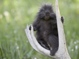 Baby Porcupine Sitting on a Weathered Elk Antler, in Captivity, Bozeman, Montana, USA Photographic Print by James Hager