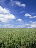 Wheat Field and Blue Sky with White Clouds in England, United Kingdom, Europe Photographic Print by Nigel Francis