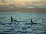 Killer Whales Research, Wintertime, Tysfjord, Arctic, Norway, Scandinavia, Europe Photographic Print by Dominic Harcourt-webster